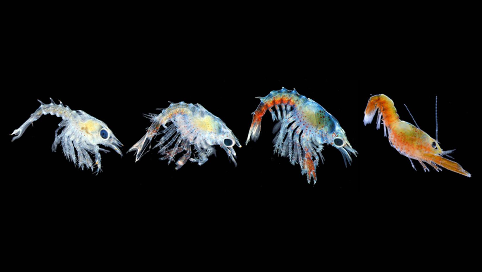 DMC, Bigelow study: Rising ocean temperatures threaten baby lobsters - UMaine News - University ...