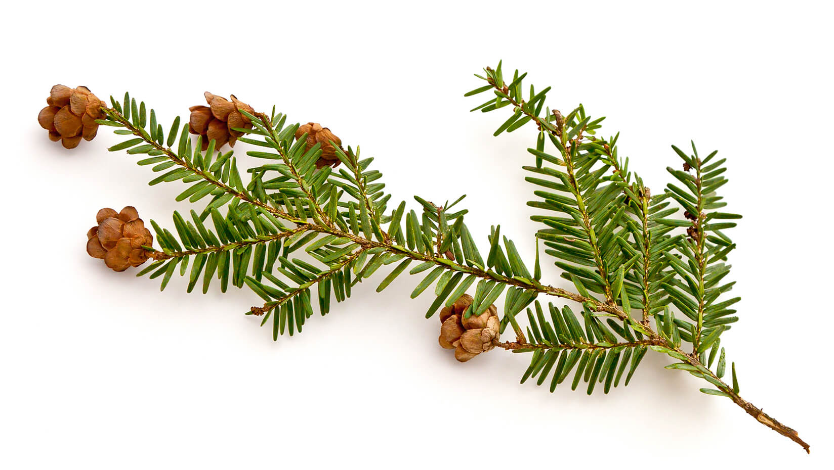 Eastern hemlock branch with pinecones
