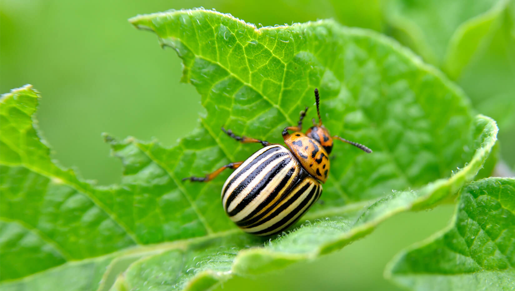 Image result for colorado potato beetle