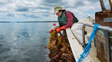 Sarah Redmond harvests seaweed
