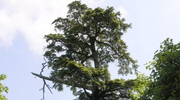 Hemock tree