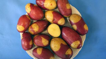 Pinto gold potato