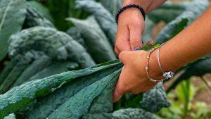 Hands harvesting kale in a field