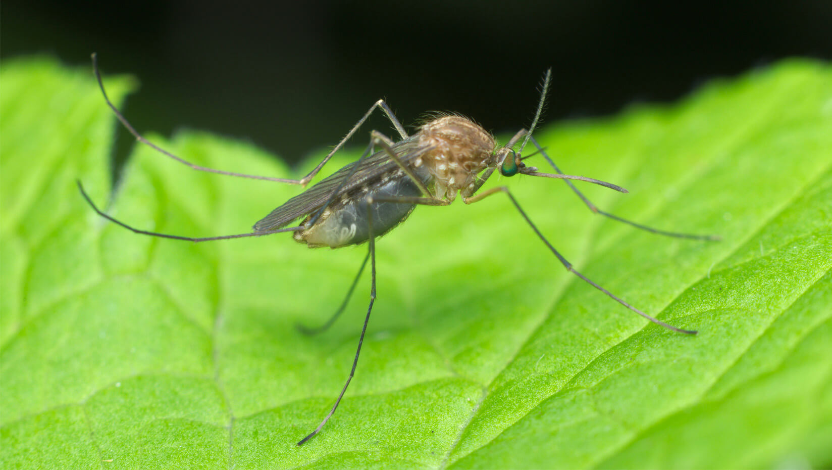 study looks at ecological traps to minimize human risk of mosquito
