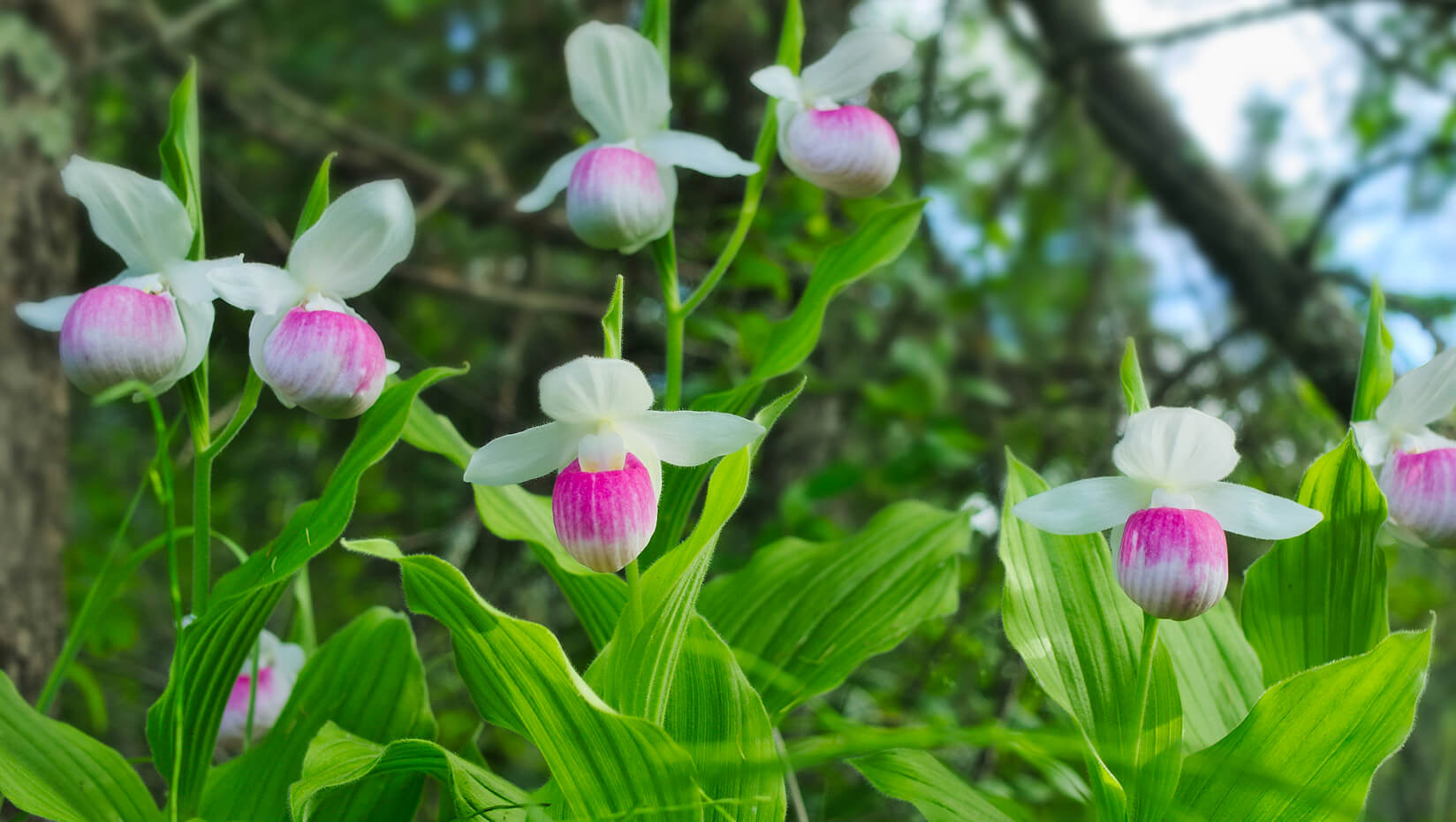 Pink and white lady slipper orchids