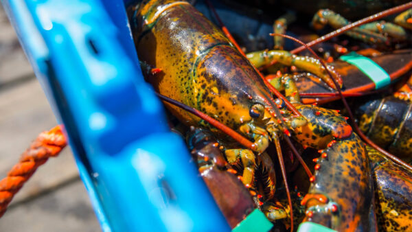 Lobster news feature 600x338 - New studies attribute warming waters, local differences in oceanography to rise and fall of American lobster populations in the Gulf of Maine
