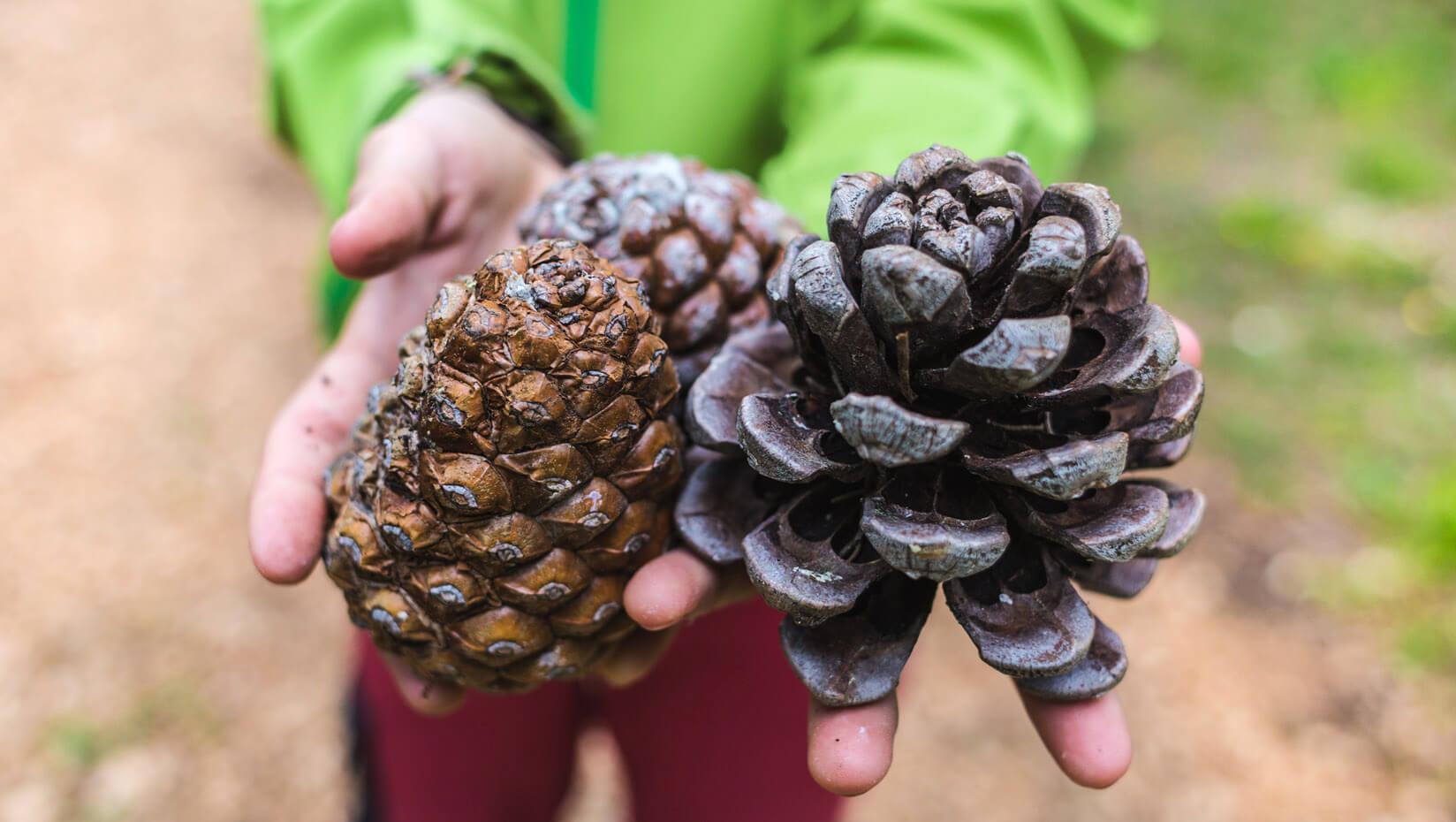 Hands holding pine cones