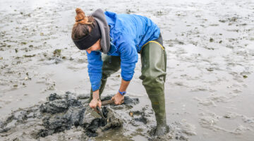 Kara Pellowe digging for softshell clams in June 2019 as part of her doctoral research in Newcastle, Maine.