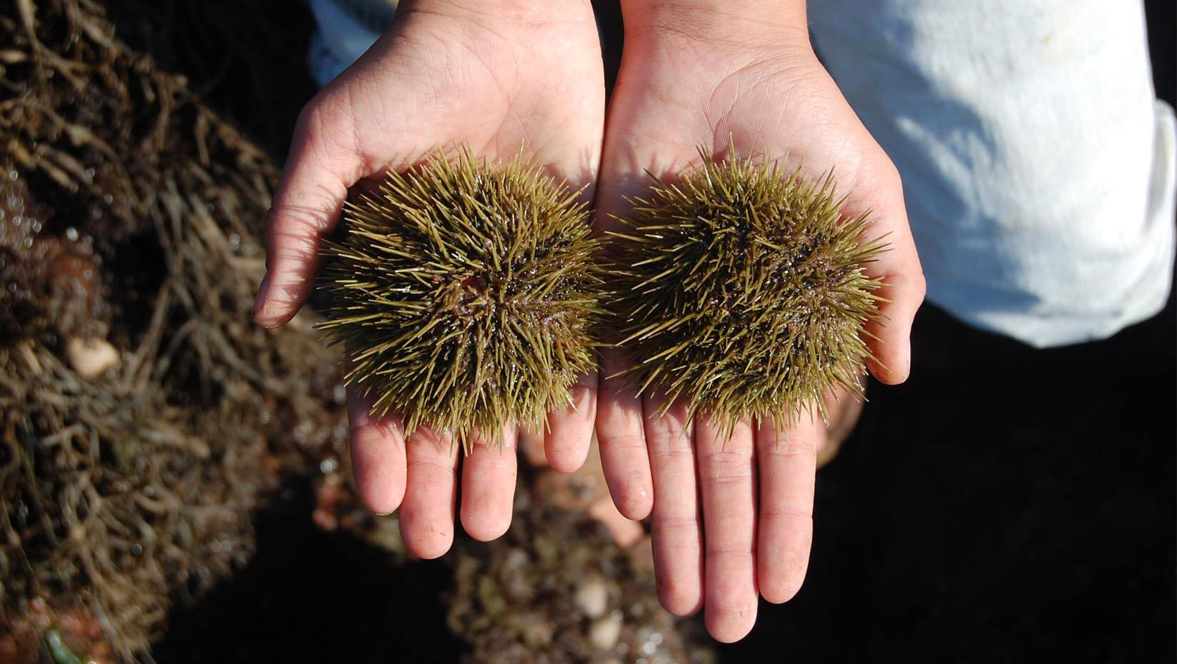 Hands holding two sea urchins
