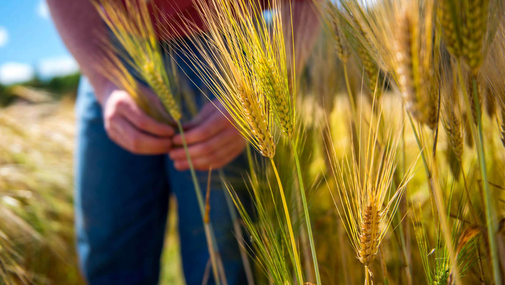 Grains growing in a field