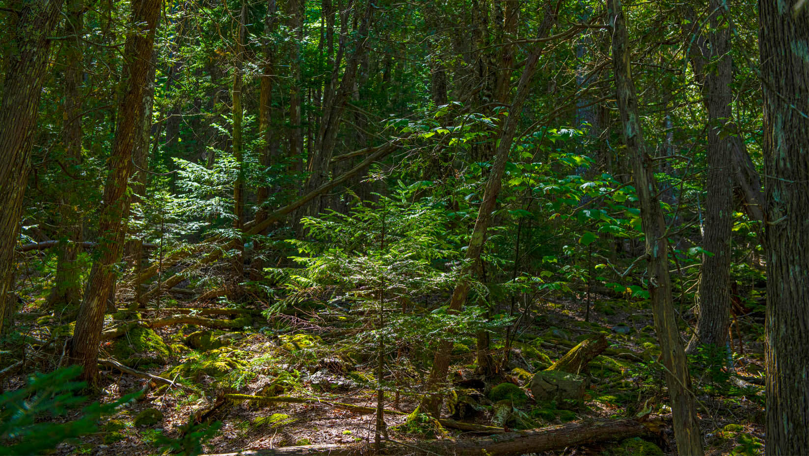 A forest view in Maine
