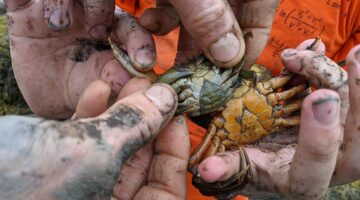 Hands holding small crabs
