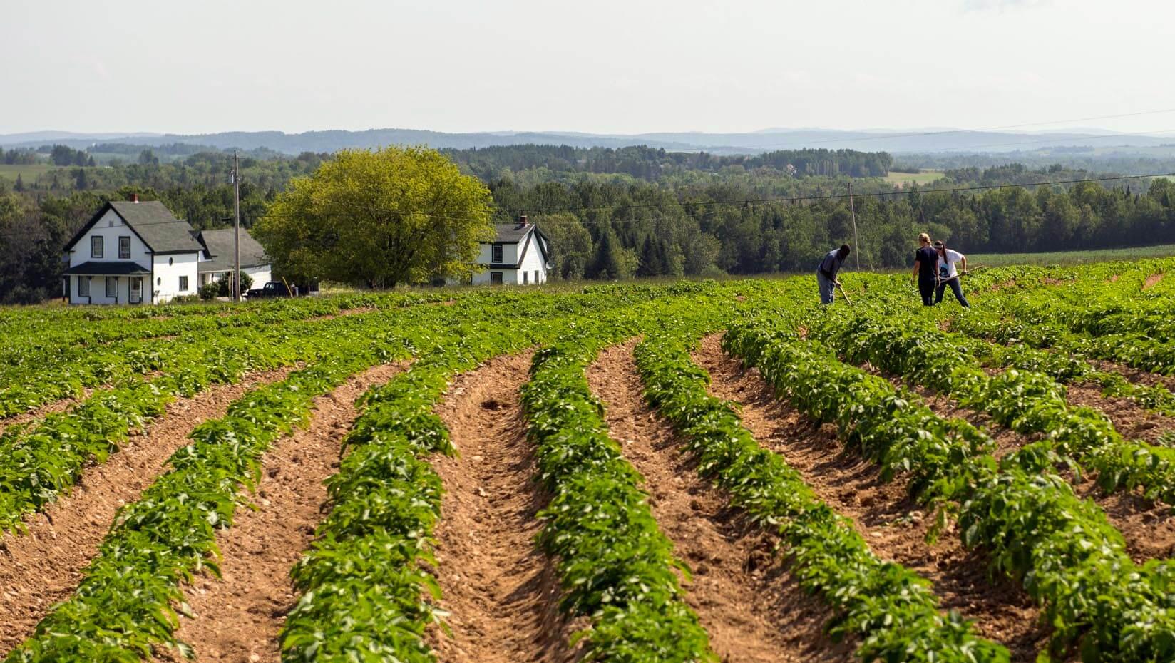 Researchers stand in a potato field