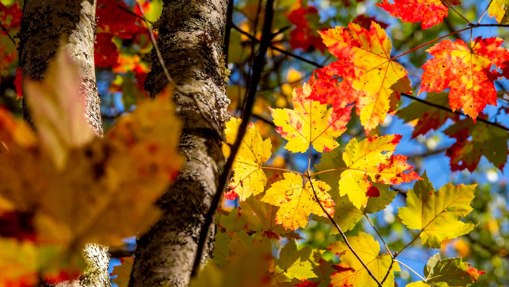 Fall leaves on trees
