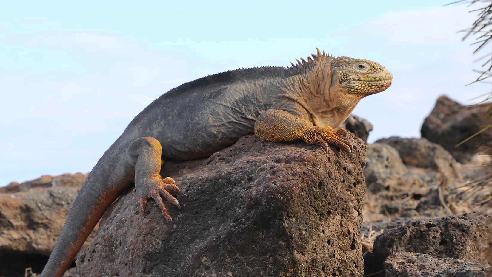 A photo of an Iguana