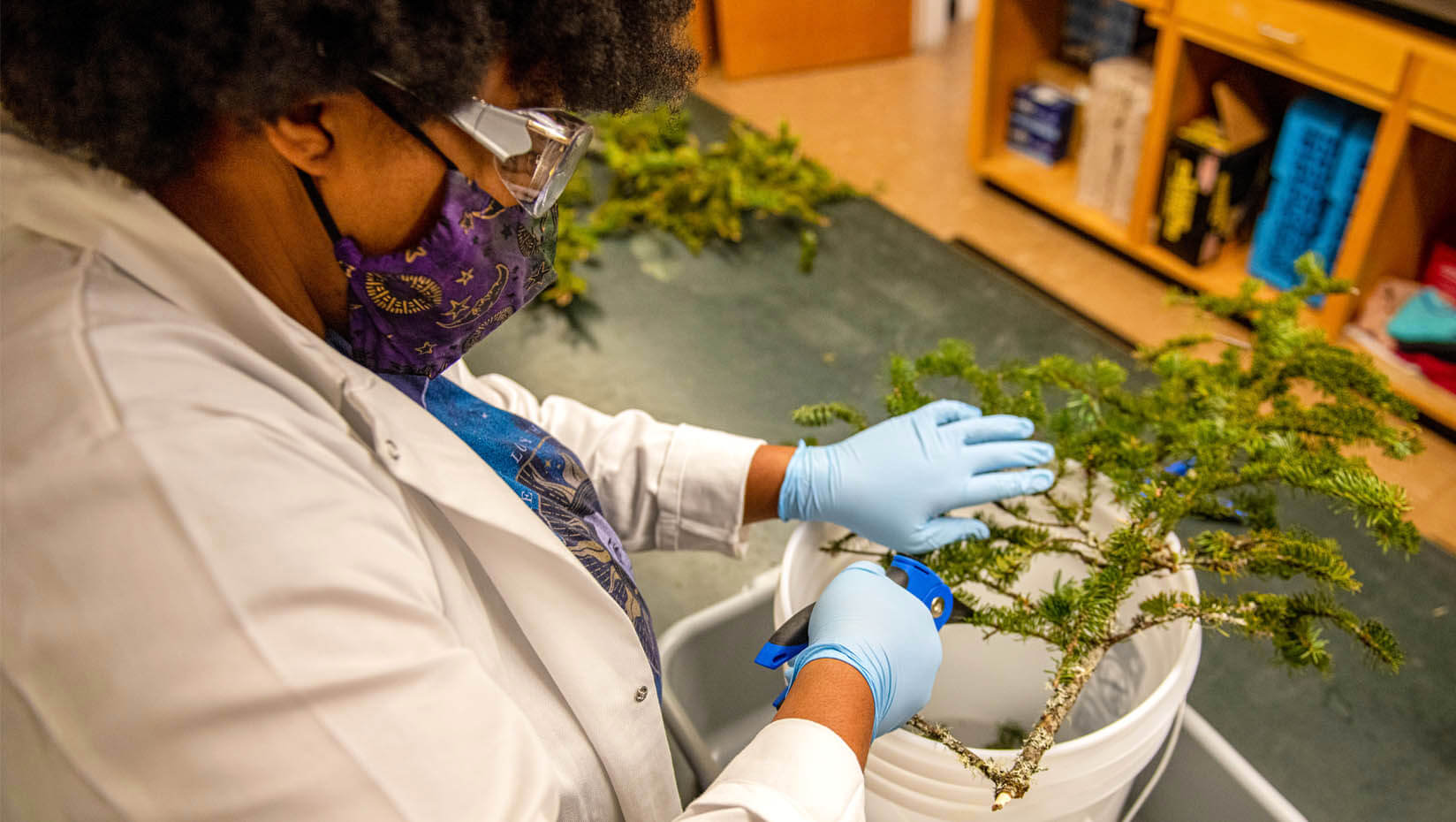 Lab technician works with a spruce tree sample