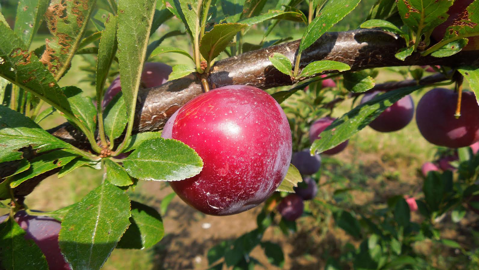 featured image for Boosting plum production in Maine