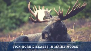 Moose in field