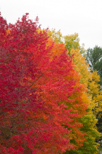 Color photo of fall foliage