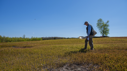 Dr. Frank Drummond conducting field work on the blueberry barrens of Maine
