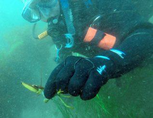 Up close shot of a diver holding a crab.