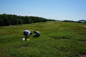 The team deploys the sensor network in a blueberry field.