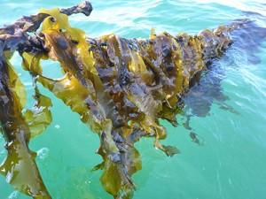 spring sugar kelp on line