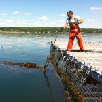 checking seaweed lines on mussel raft