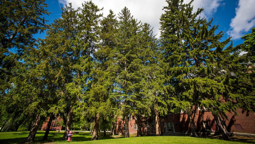 Norway Spruce Self Guided Walking Tours University Of Maine