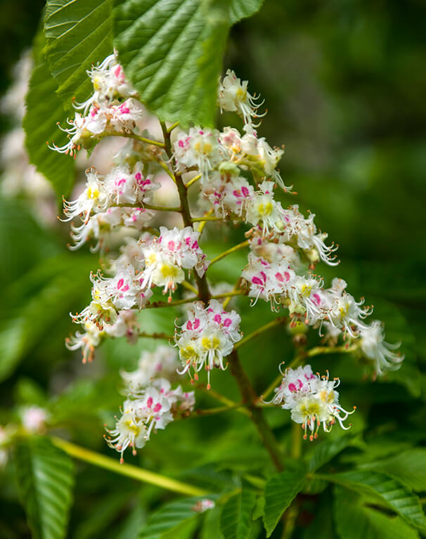 Common Horsechestnut flowers