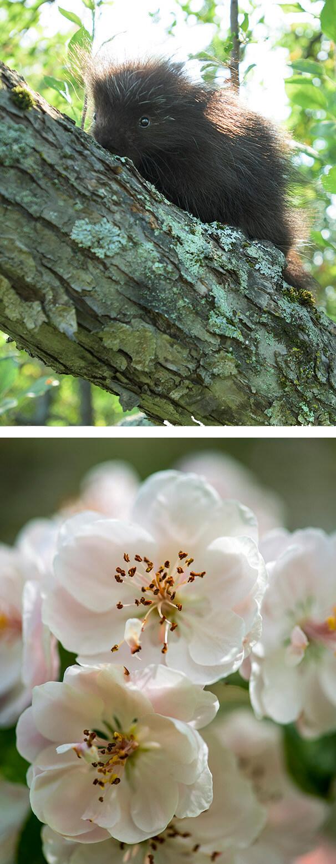 Flowering Crabapple Tree Self Guided Walking Tours University Of
