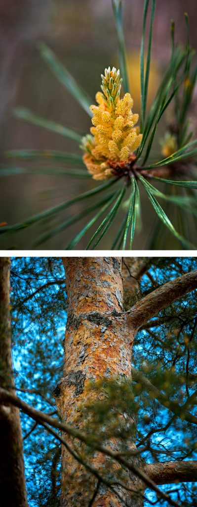 Scots Pine branch and trunk