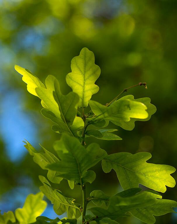 English Oak leaves