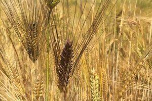 Picture of grain