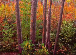 Red pine trees frame the brilliance of an autumn sunrise in Maine's great northern forest.
