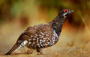 A male spruce grouse pauses while feeding along the forest edge.