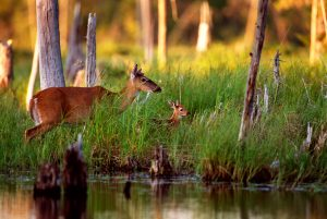 A doe white-tail deer feeds on succulent vegetation at the water's edge. The fawn watches mom intently, learning the land that is its home, and emulates her by grasping some vegetation. The fawn is still dependent on her mom's warm milk, but is learning valuable life lessons about food types and locations.