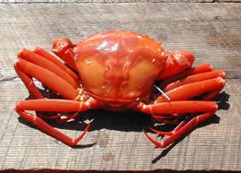 Deep Sea Red Crab