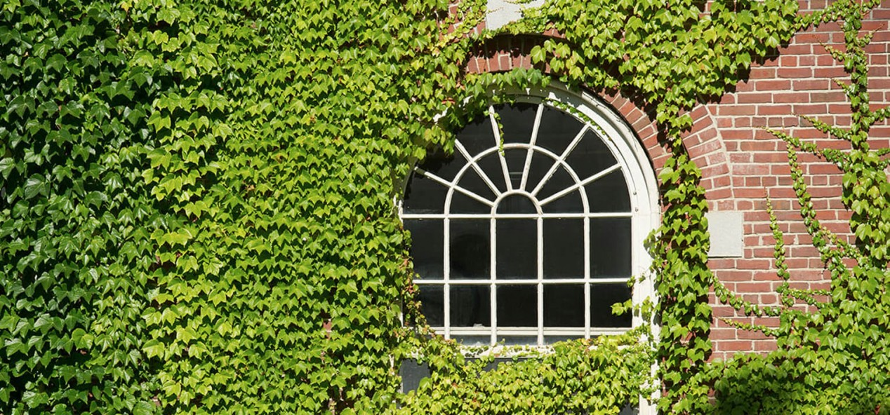 Photo of ivy climbing a building on the beautiful UMaine campus