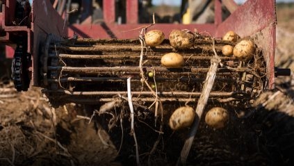 Potatoes in the field, being harvested with a machine